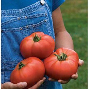 Tomato – Knockout F1
