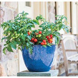 Tomato Dwarf Veranda RED
