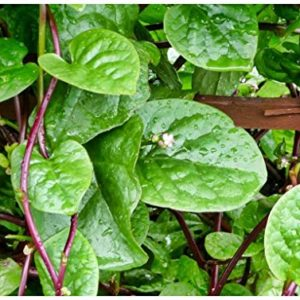 Spinach - RED Malabar