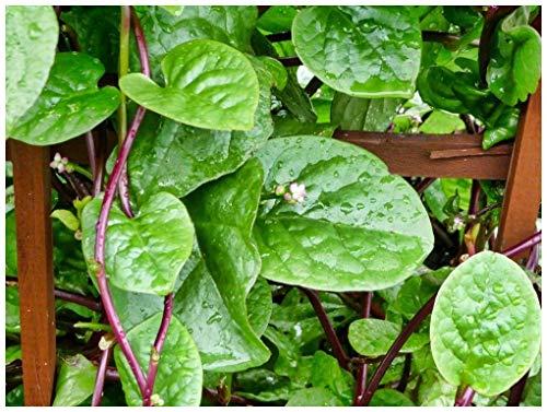 Spinach - RED Malabar