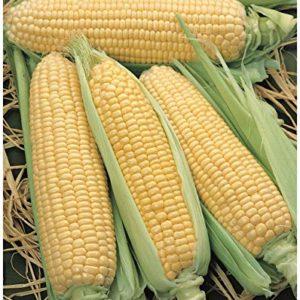 PREMIER SEEDS DIRECT Sweet Corn - SWEETCORN -ELAN F1 - 50 Seeds