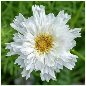 Cosmos - Double Dutch White