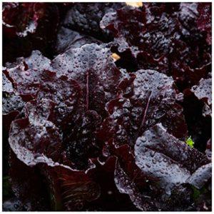 Lettuce Dark Roden