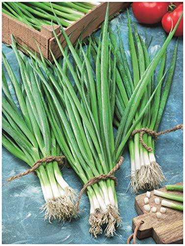 Onion Snow Queen F1 BUNCHING (Spring)