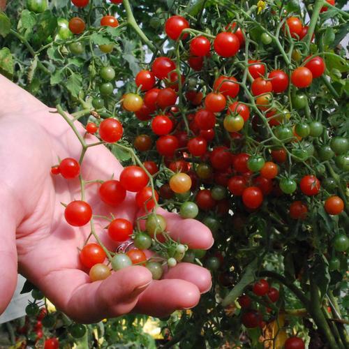 Tomato Currant Sweet Pea