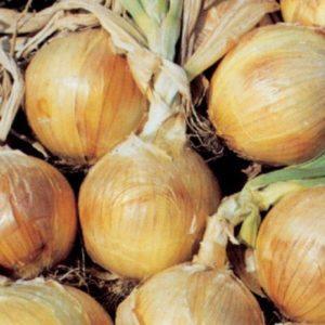 Onion - Bedfordshire Champion