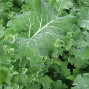 Kale - Siberian organic